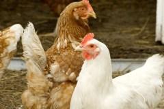 Cinq fermes où acheter de la viande bio… et quelques pistes intéressantes