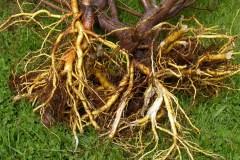 Mythes et réalités sur les racines des arbres