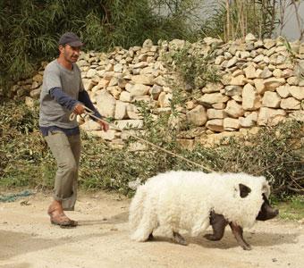 Le cochon de Gaza : fable rigolote