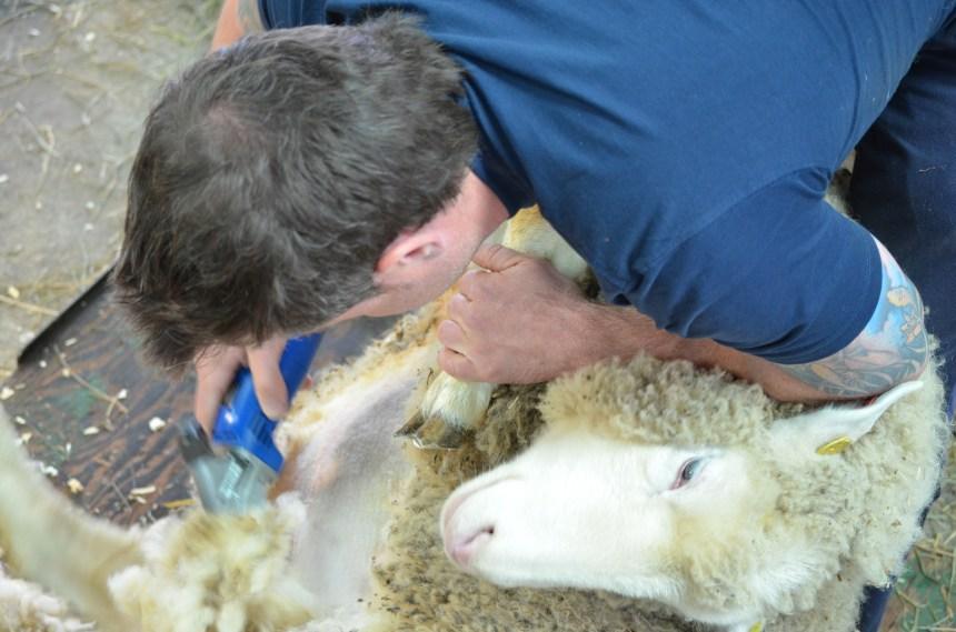 c7c8adca609 Emploi   tondre les moutons n est pas de tout repos! – Journal Métro