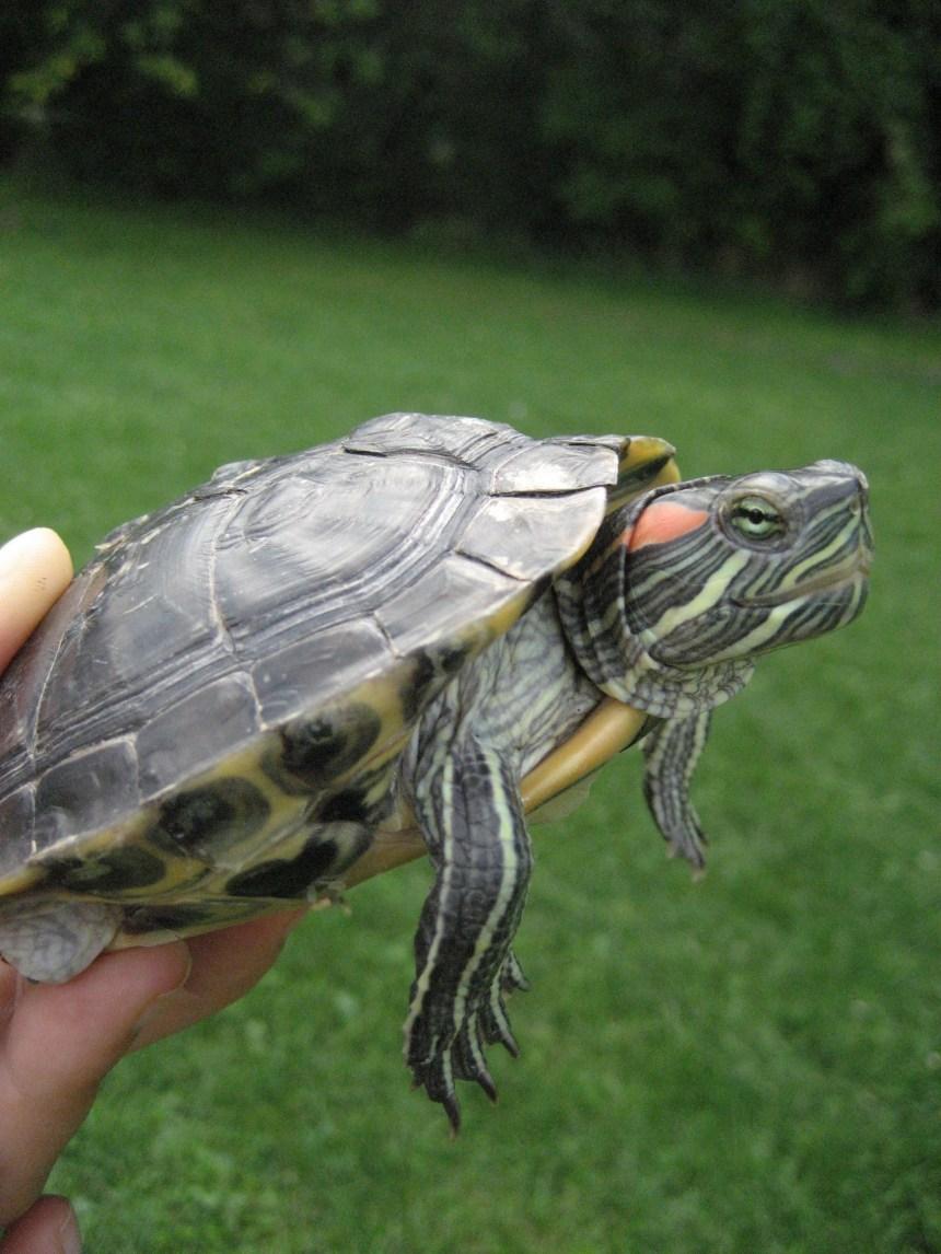 Une tortue dans son salon, une bonne idée?