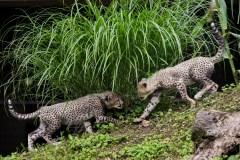 Une commission refuse l'entrée de deux guépards en Colombie-Britannnique