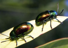 Dogbane leaf beetles