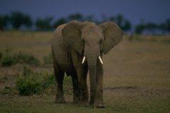 Un braconnier tué par un éléphant pendant qu'il chassait illégalement des rhinocéros