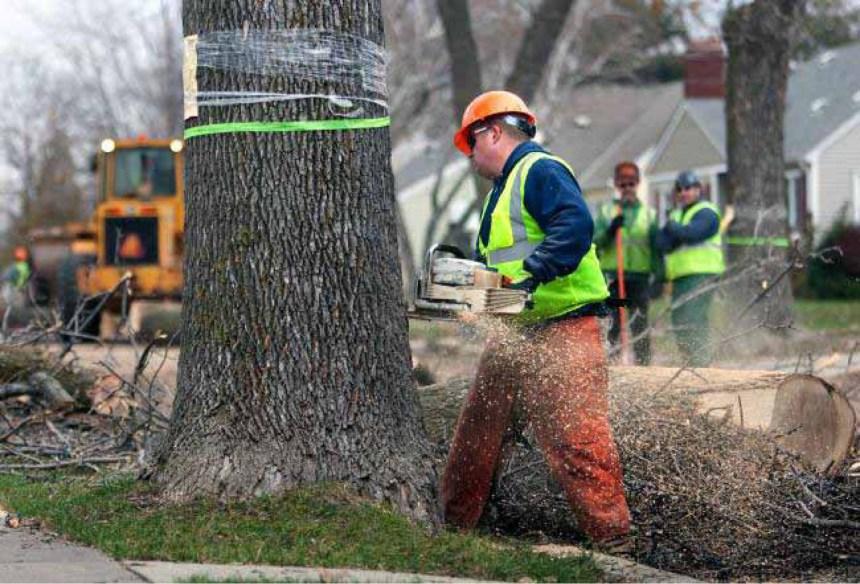 Agrile du frêne: valoriser les arbres coupés pour réduire la facture