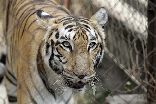 Un tigre de Sumatra libéré du sous-sol d'un magasin en Indonésie