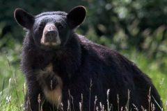 TNL: une Québécoise est à l'hôpital après avoir été attaquée par un ours noir