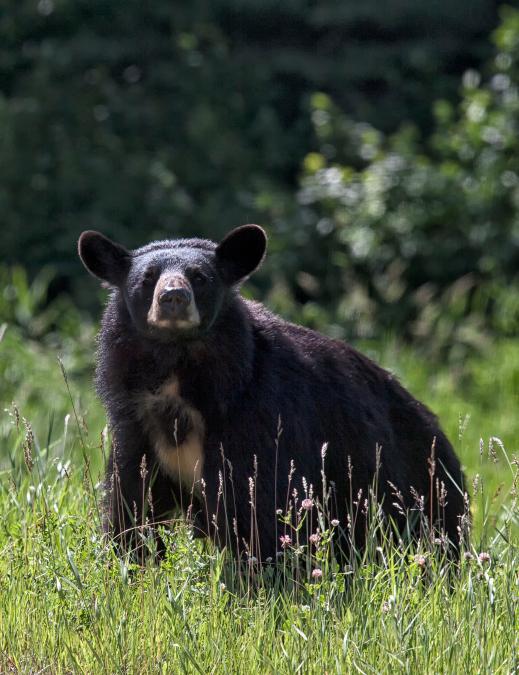 Un réseau de braconnage d'ours noirs démantelé