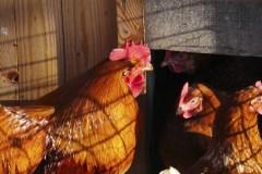 Aviculture urbaine: l'œuf et la poule