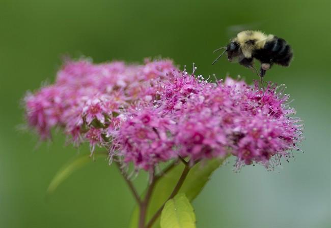 Des pesticides dangereux pour les abeilles interdits à Montréal