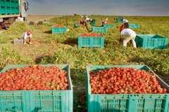 La tomate italienne, business aux dépends de l'Afrique