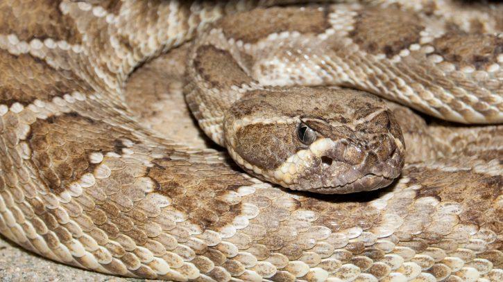 Un zoo ontarien fournit un antidote à une femme mordue par un serpent