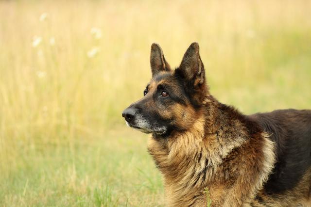 Vers un registre public des chiens potentiellement dangereux
