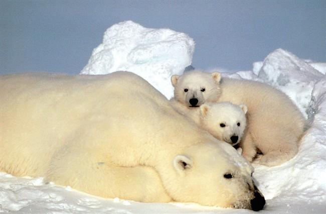 Washington jette du lest concernant l'ours polaire