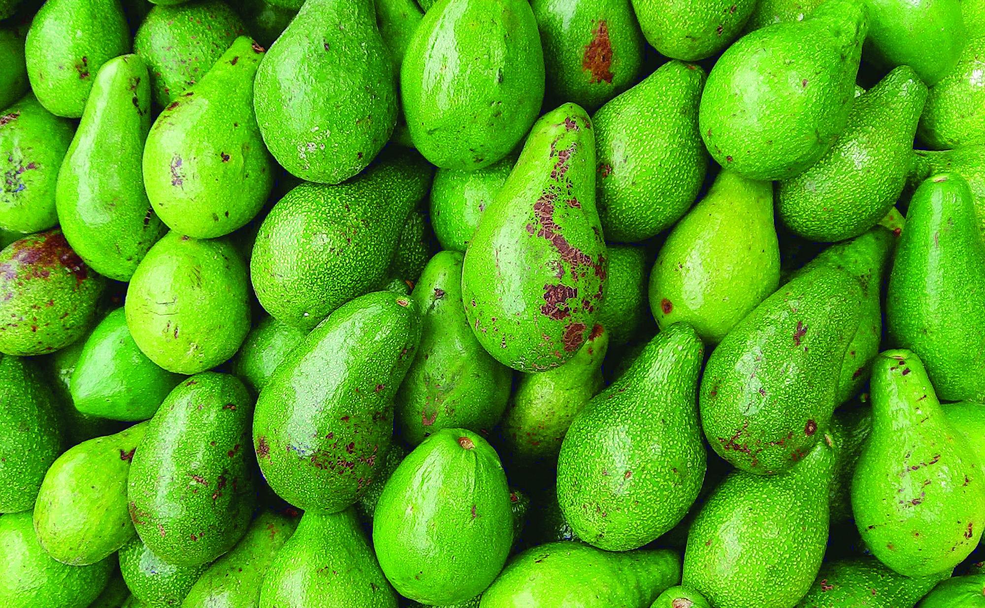 avocados_ccrufinouribe
