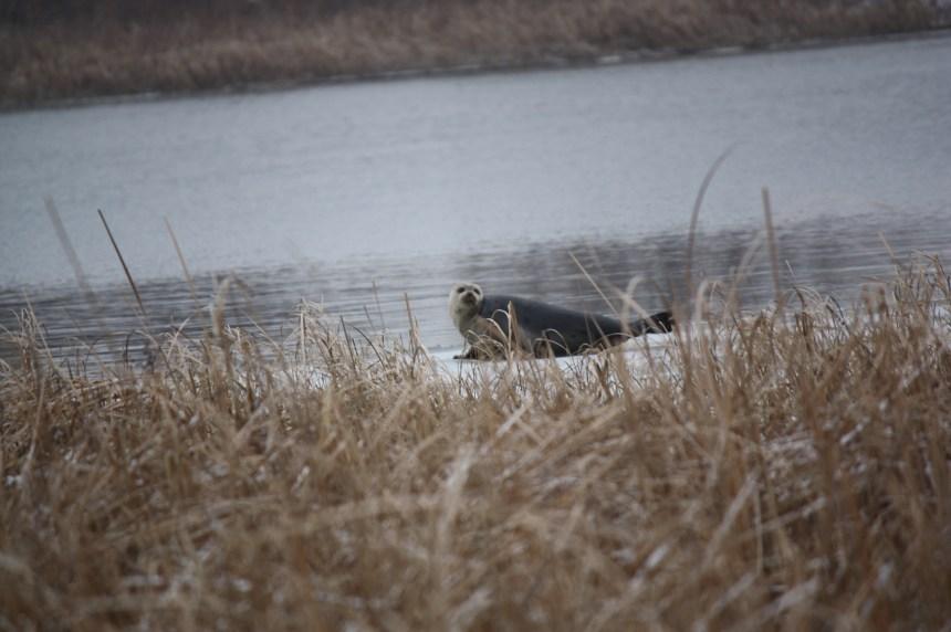 Un jeune phoque aperçu à Pointe-aux-Trembles