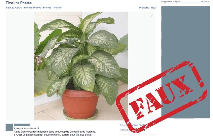 Non, cette plante de bureau typique n'est pas mortelle
