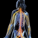 Nerf sciatique source corps humain