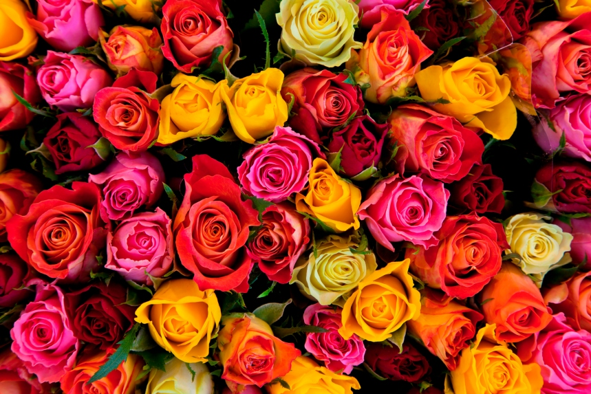 La rose, cette indémodable