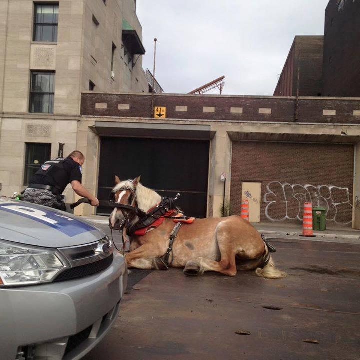 Des plaques dangereuses pour les chevaux de calèche