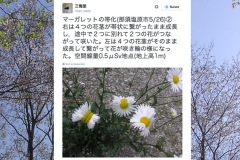 Non, ces marguerites mutantes de Fukushima n'ont rien d'inquiétant