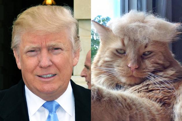 De multiples chats avec la chevelure de Donald Trump sur le web