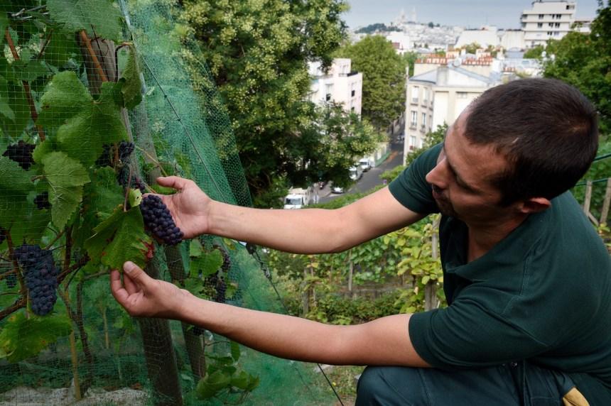 Au cœur de Paris, un vignoble secret sur la butte Bergeyre