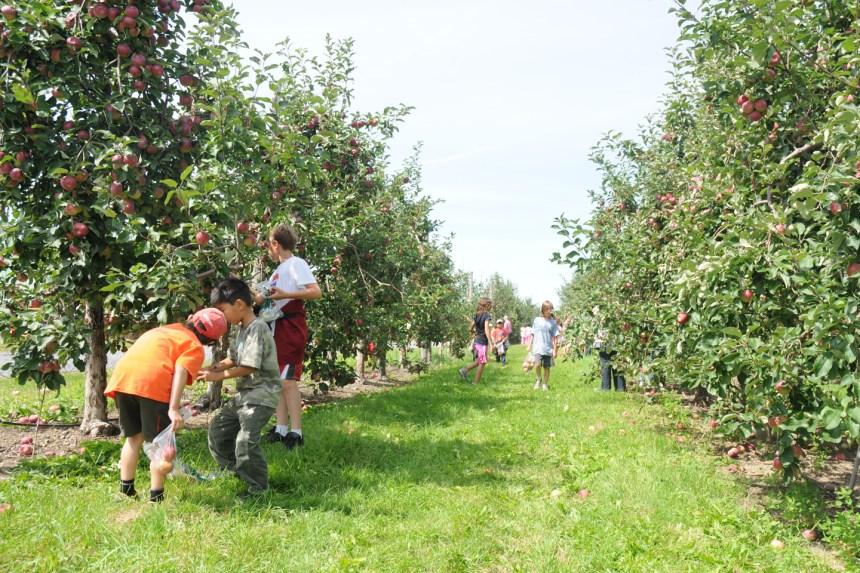 La récolte de pommes s'annonce bonne