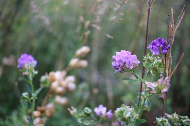 gaspésie fleurs sauvages