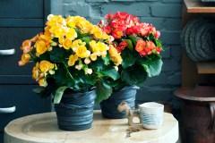 Plante d'intérieur du mois : le bégonia