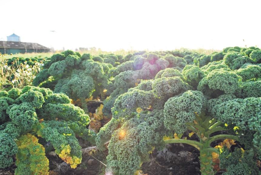 La vieille histoire du kale au Danemark