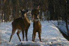Des consignes pour coexister avec les cerfs de Virginie