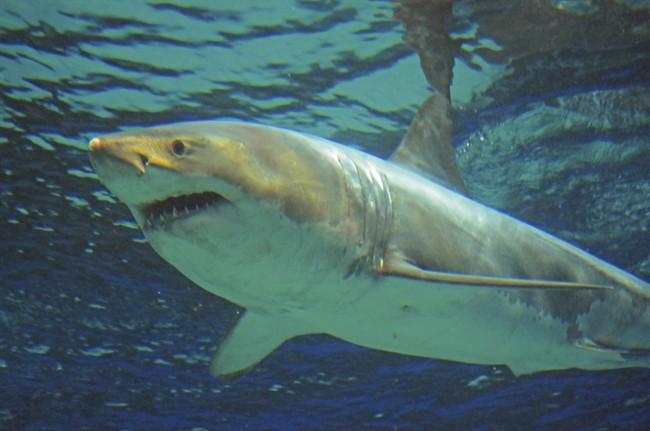 Un enfant canadien a été mordu par un requin à Fort Lauderdale