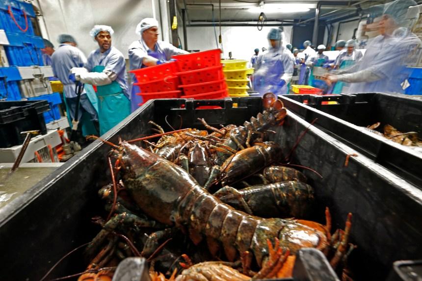 Les États-Unis transforment moins de homards au Canada à cause d'une capacité accrue