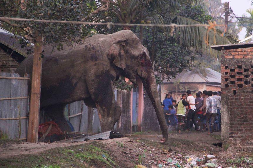 Une éléphante enragée saccage une ville dans l'est de l'Inde