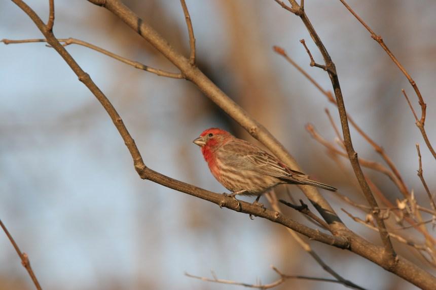 Montréal va recenser ses oiseaux