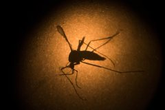 Aucun risque de transmission du Zika malgré la découverte d'un moustique en Ontario