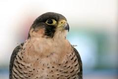 Échangeur Turcot: les faucons devront déménager