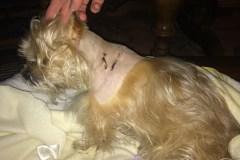 Suki, rescapé d'une attaque de pitbull dans Rosemont