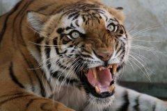 Une tigresse meurtrière est abattue en Inde