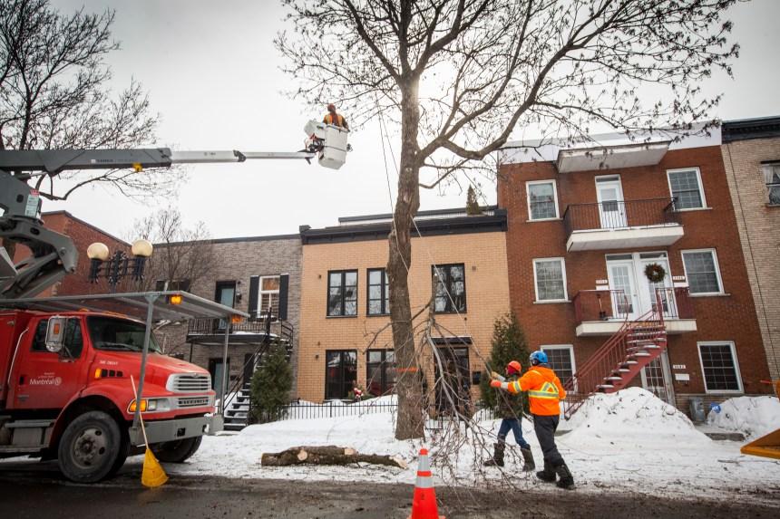 Agrile du frêne: 10 fois plus d'arbres plantés qu'abattus