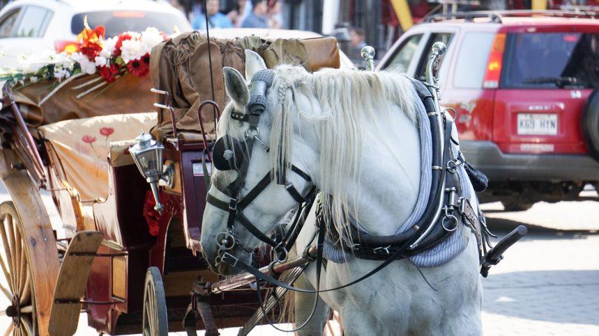 Calèches: Montréal compensera les cochers souhaitant se départir de leur cheval