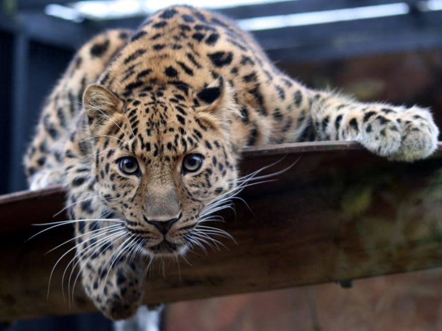 Les léopards vivent dans une salle de bain