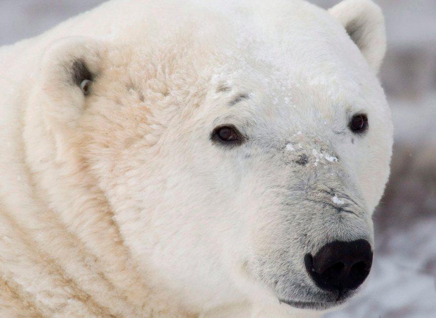 Des agents de la GRC abattent un ours polaire