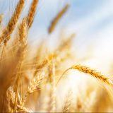 Wheat ears under sun