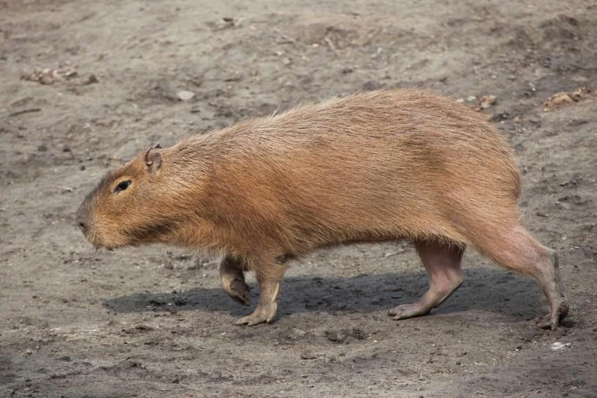 Le second capybara fugitif à Toronto a été capturé
