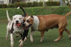 Pitbulls et chiens dangereux: les villes défusionnées prennent position