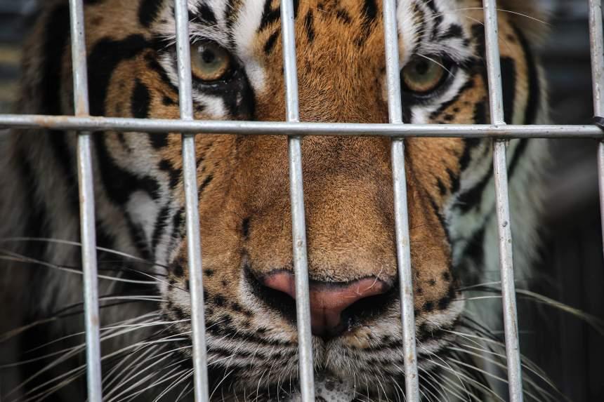 Le temple des tigres, un abattoir à grands félins