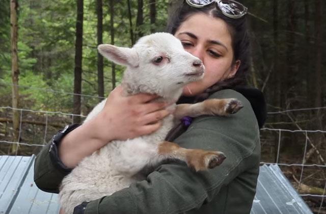 Des moutons au parc du Pélican en juillet