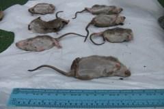 Infestation de rats près de la gare Sauvé
